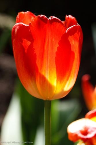 Translucent tulip